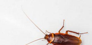Inwazja karaluchów w Dąbrówce Wielkopolskiej