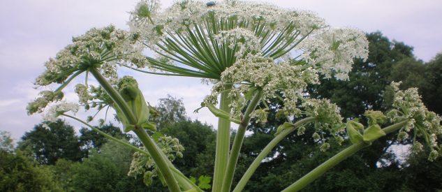 Choć kwiatostan barszczu Sosnowskiego może wydawać się niepozorny, trujące działanie rośliny może być zagrożeniem dla zdrowia i życia, fot. Hugo.arg CC BY-SA 3.0