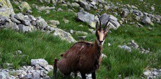 kozica w Tatrach