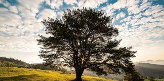 Drzewo Beskidy