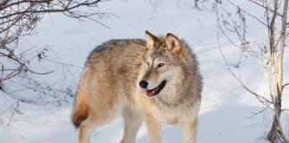 wilk na śniegu