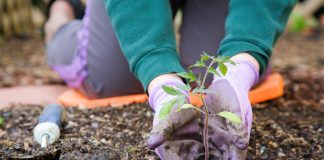 Closeup image of woman's hands in gardening gloves planting tomato