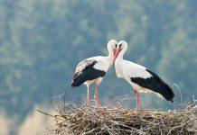two stork on nest closeup