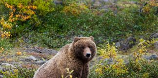 Grizzly bear in its natural habitat