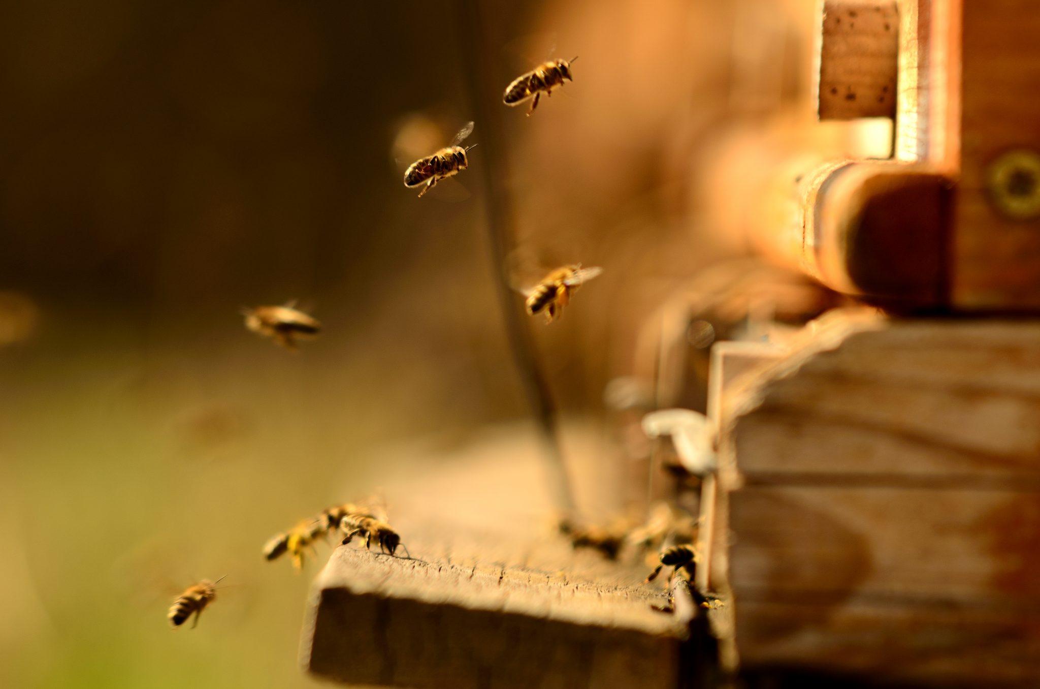 adoptuj pszczole