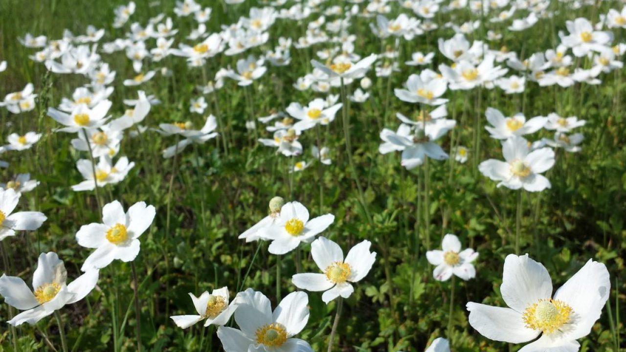 Wczesnowiosenne Kwiaty Bywaja Niebezpiecznie Trujace